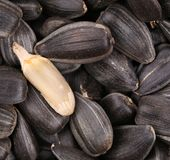 White sunflower seed on black seeds. Stock Images
