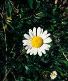 White sunflower stock image