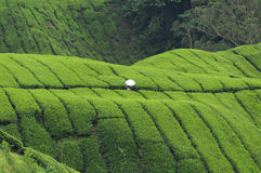 White sunshade in the green tea field. Man with white sunshade in the green tea plantation, Cameron Highlands, Malaysia Stock Image