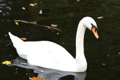 White swam. In the autumn lake Royalty Free Stock Photography