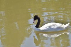 White swam with black neck. On  lake in a park located in the province of Seville, Spain Stock Images