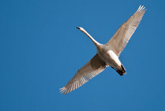 White Swam Flying in Blue Sky. A White Swam Flying in Blue Sky With Outstretched Wings Royalty Free Stock Images