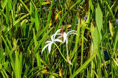 White swamp lily flower in the swamp. White swamp flower in the everglades royalty free stock photography