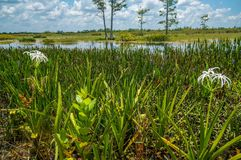 white swamp lily flower royalty free stock photos