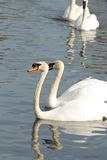 White swan. During the spring day Stock Photo
