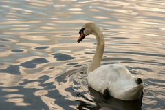White swan. It is photographed in a zoo Royalty Free Stock Photos