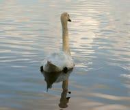 White swan. Photo with reflexion Royalty Free Stock Photos