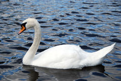 White Swan. Floating in lake stock photography