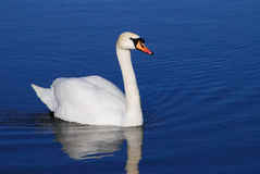 White Swan Royalty Free Stock Photography