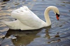 Free White Swan Stock Photography - 12209362