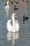 A white swan Stock Images