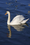 White swan. A white swan reflected in blue water stock image