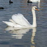 A white swan Royalty Free Stock Images