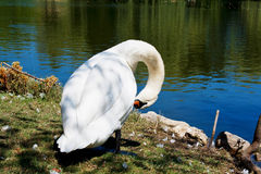 The swan and his lake Royalty Free Stock Photography