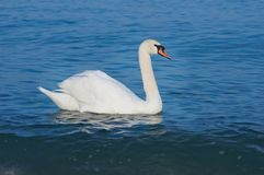 White swan Stock Images