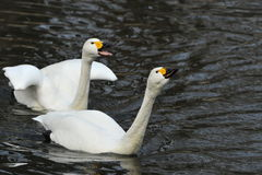 White Swan. Beautiful white swans wandering freely in the lake stock images