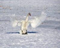 White swan Stock Image