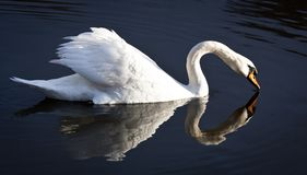 The white swan Royalty Free Stock Photo