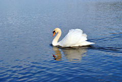 White swan. The white swan is floating on water Royalty Free Stock Photos