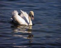 White swan #2. White swan swimming in a Swiss lake stock photos
