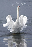 White swan. In a lake in Hyde Park Stock Photos