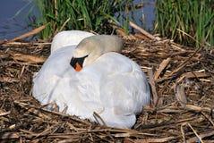 White swan Stock Photo