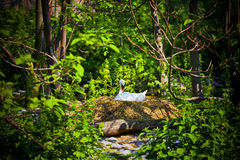 White swan. A large, handsome, white swan lying in the nest of eggs among vegetation and shrubs Royalty Free Stock Image