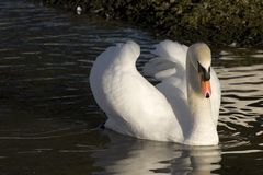 White Swan. This beautiful swan was captured on a lake in the UK Stock Images