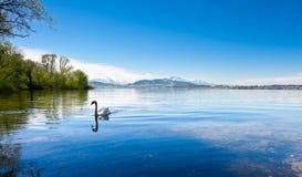 White Swan. On the Lake Zuger, Switzerland Stock Photo