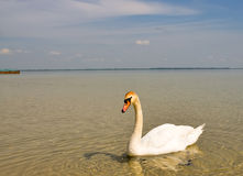 White swan. Beautiful white swan on the lake Royalty Free Stock Photography