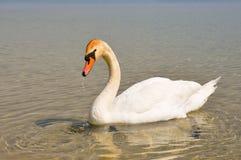 White swan. Beautiful white swan on the lake Stock Images