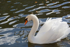 White swan. Floats on blue water Royalty Free Stock Image
