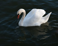 White swan Royalty Free Stock Images