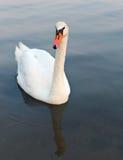 White swan Stock Photos