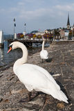 White Swan. Two white swans standing on the shore to rest Stock Photos