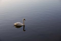 White swan. Floating alone on calm water Stock Photography