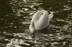 White Swan. Taking a drink of water Stock Image