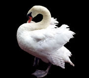 Free White Swan Royalty Free Stock Images - 43830509