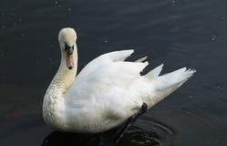 Free White Swan Stock Photos - 44024773