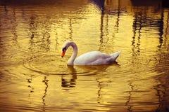 Free White Swan Royalty Free Stock Photos - 44765538