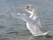 White swan. Ready to fly Royalty Free Stock Images