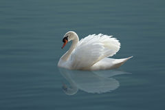 Free White Swan Royalty Free Stock Photography - 51620407