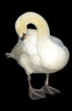 White swan. Portrait of preening white swan with black background Stock Photography