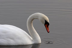 White swan. Swan Royalty Free Stock Photo