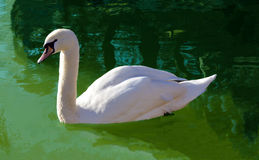 Free White Swan Royalty Free Stock Images - 83261539