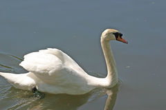White swan. Side view of white swan on lake or river royalty free stock photography