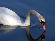 White swan. Close-up of white swan drinking on lake with reflection Royalty Free Stock Image