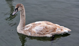 White swan adolescent Royalty Free Stock Images