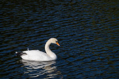 A white swan alone at the lake in the autumn time Stock Photography