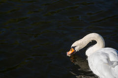 White swan alone at the lake in fall Stock Photo